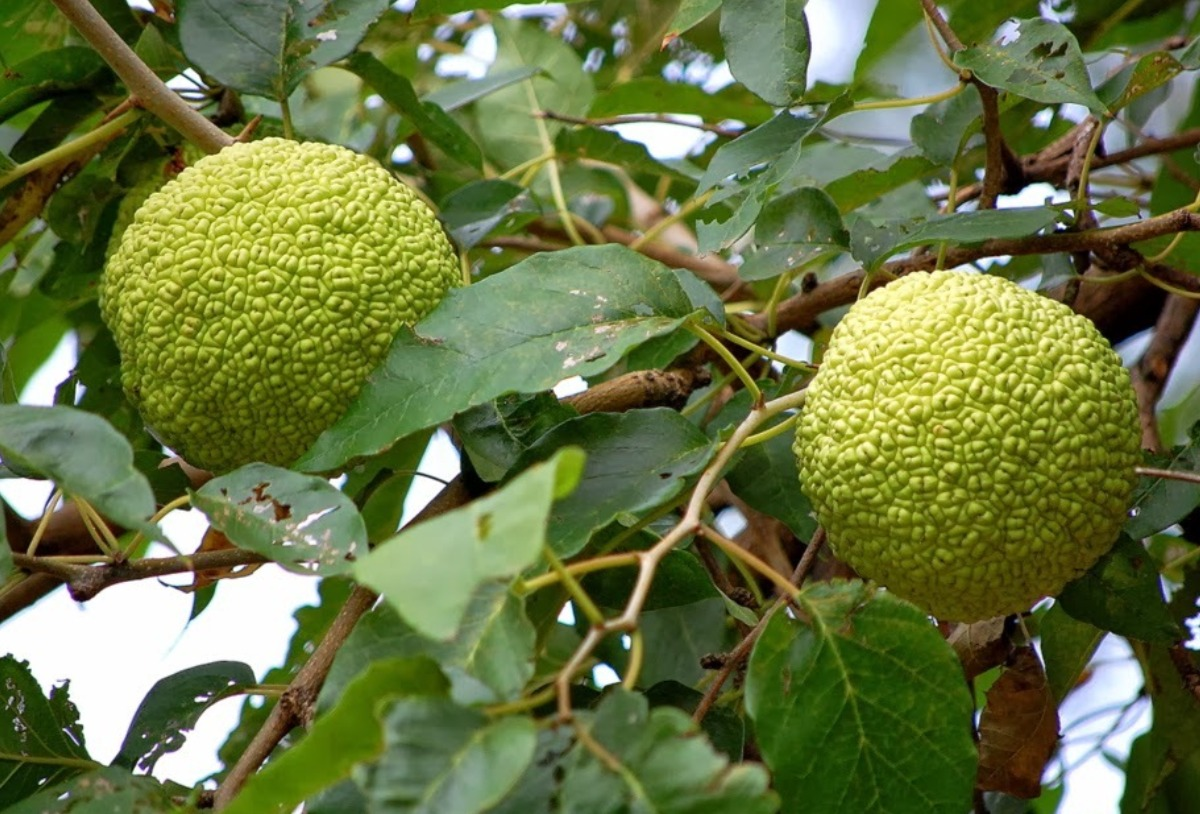 Image of osage oranges on a tree branch.